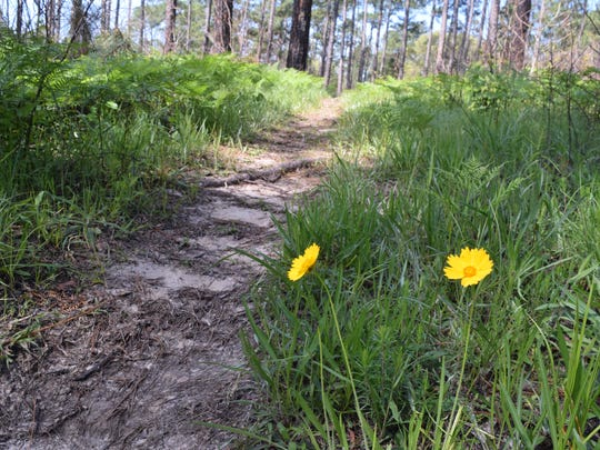 """A walk on the Wild Azalea Trail Wednesday, April 11, 2018. The Wild Azalea Trail is located between Valentine Lake and Woodworth in the KIsatchie National Forest. It has been designated a national recreation trail by the Chief of the Forest Service for its """"outstanding scenic values"""" according to the U.S. Forest Service Website www.fs.usda.gov. The trail is open to for hiking and cycling. The WAT is the longest continuous trail in Louisiana and is about 31 miles long. The part of the WAT featured in these photos is about 4 1/2 miles long and is located between Forest Service Roads 279 and 282."""