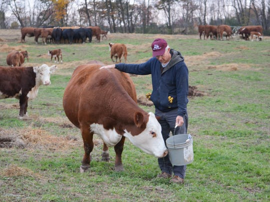 Cardiologist Steven Merry tends to the Polled Hereford