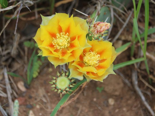 Prickly Pear Cactus in bloom found along Wichita Valley