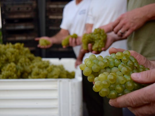 A winemaker holds grapes at the Winemakers Co-Op Spring