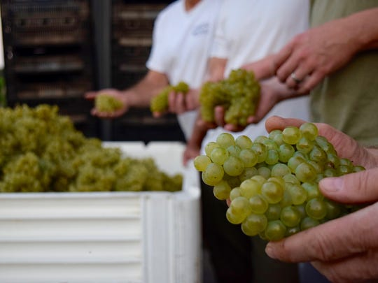 A winemaker holds grapes at the Winemakers Co-Op Spring Portfolio Tasting. Four NJ wineries have joined forces to produce an Open Source Chardonnay.