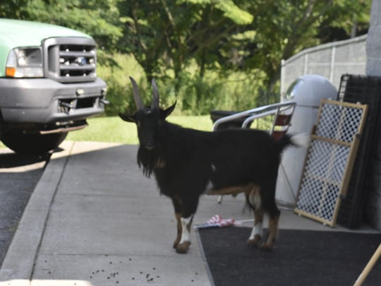 Luke the goat couldn't be contained by a pen or caught by a rescue facility. Now, he roams the Cheatham County Animal Control property, peering through the windows at the staff and at a room full of cats.