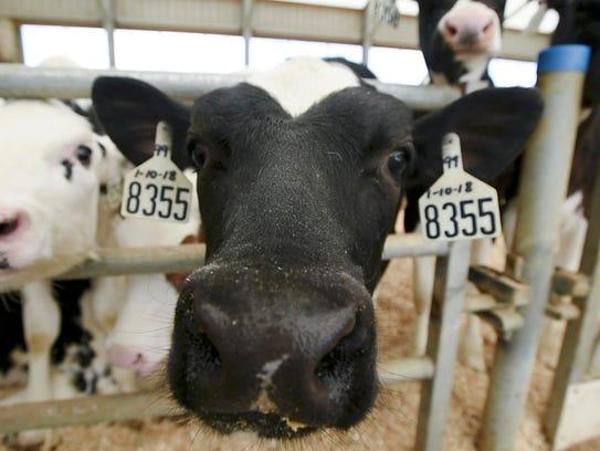 Calves explore a camera at Green Mountain Dairy in