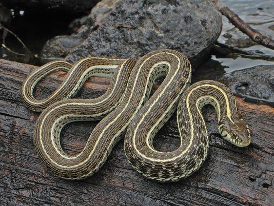 Northern Mexican gartersnake