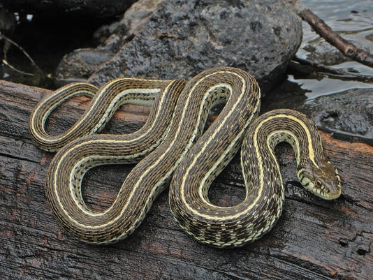 Northern Mexican gartersnake