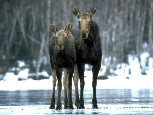 DFP 0317_moose_pix.jpg