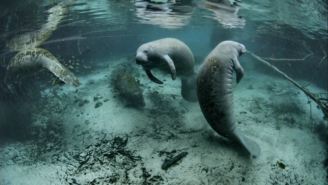 Manatees float in the Crystal River National Wildlife Refuge in Florida.