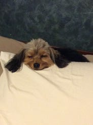 Rudy the Shorkie was found off of Hermitage Boulevard