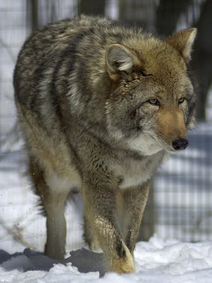 In this 2003 file photo, a male eastern coyote patrols its pen at the A.E. Howell Wildlife Conservation Center in Amity, Maine.