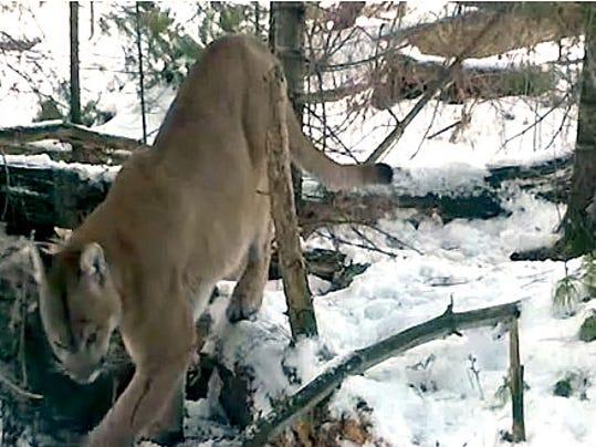 cougar DNR.jpg