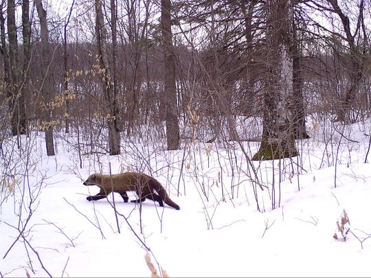 A fisher walks through snow in this Snapshot Wisconsin trail cam image.