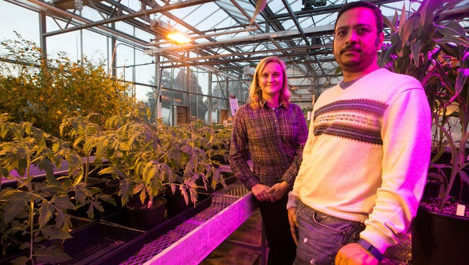 Harsh Bais (right), an associate professor of plant and soil science at UD's Delaware Biotechnology Institute, and KalI Kniel, a professor of animal and food sciences, stand in the greenhouse where they are studying a bacteria that could prevent harmful pathogens like listeria from being absorbed in leafy greens.