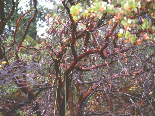 Manzanita shrubs are so rich in oil that the leaves literally glow after a rain under the light of a full moon in the mountains.