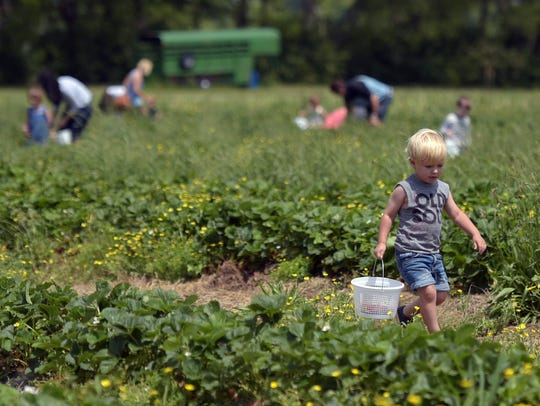 Teddy Osler, 2, carries a basket to pick strawberries