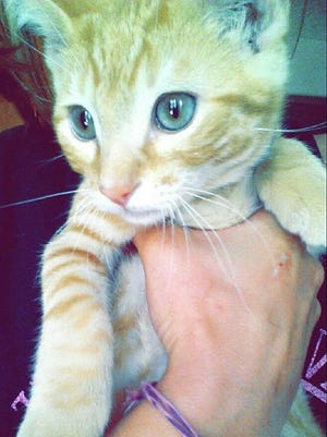 Colby Jack, a 1-year-old orange tabby cat was euthanized, Sunday, after being shot in the mouth according to Keizer Police.