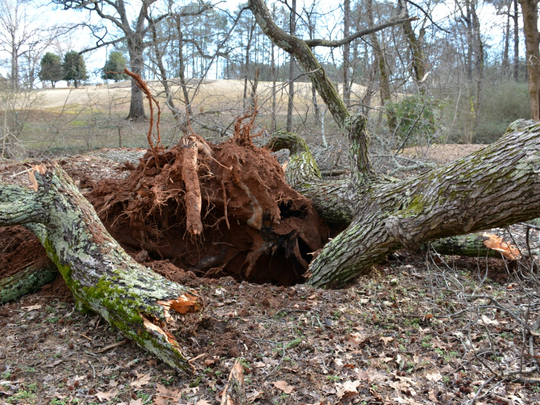 In March, a wind storm toppled three large trees in the woodland garden along the Reedy River.