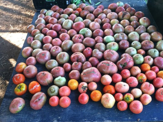 636365076332354699-Jail-Garden-tomatoes.jpg