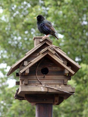 "Lori Rhodes of Hanover Borough submitted this photo to the Evening Sun Animals gallery May. 13. Rhodes writes, ""I came home from lunch one afternoon and finally got a shot of this bird that made a nest inside of our birdhouse. I can't wait for the babies to hatch."""