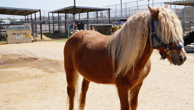 Fabio is a sable horse with a flowing blonde mane that looks like it's been crimped with a flat iron.