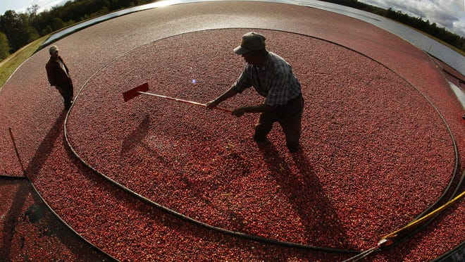 In this 2011 file photo, Miguel Sandel of Middleboro rakes cranberries into a loading tube during an afternoon harvest at the Hannula cranberry bogs in Carver, Mass. Agriculture officials are forecasting a modestly optimistic fall 2020 cranberry harvest.