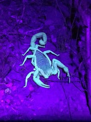6/27: Scorpions in the Wild - McDowell Mountain