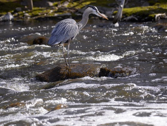 great_blue_heron_2