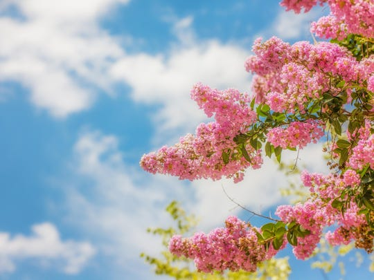 Pink Crepe Myrtle against a Blue Sky