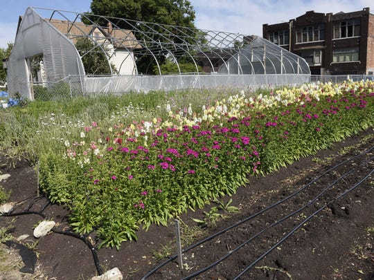 The west corner of Fresh Cut Detroit Flower Farm showing Dianthus, (purple flowers) blooming on July 6, 2017.
