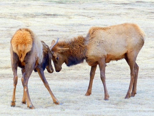 elk-just-practicing