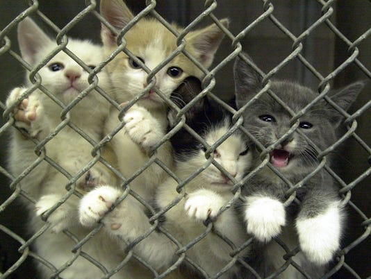Kittens at Maricopa County Animal Care and Control's Mesa shelter.