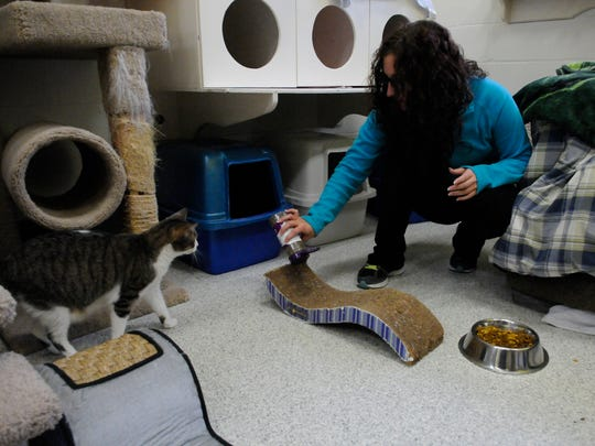 """Shelter employee Danielle DiEsposito of Little Ferry sprinkles catnip on a corrugated """"wave"""" scratching pad, catching the attention of """"Ellie"""" at the Secaucus Animal Shelter on Tuesday, January 24, 2017."""