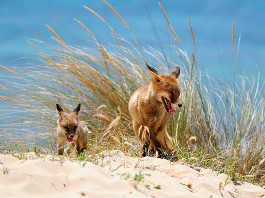 A female fox takes a stroll through the dunes on the Atlantic coast with one of her cubs. The average litter size consists of four to six cubs.