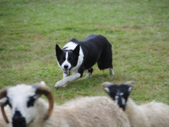 Charlotte, a 5-year-old border collie, gathers a small