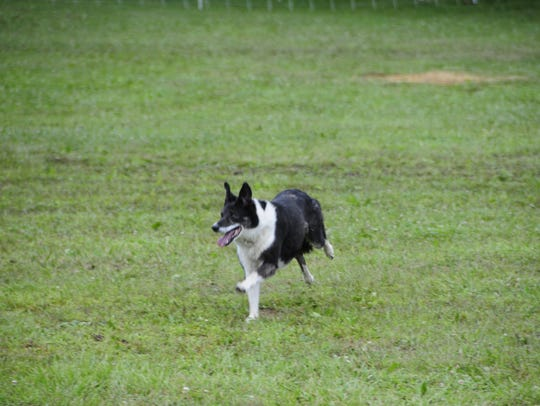 Twix, a 6-year-old border collie, gathers a small flock