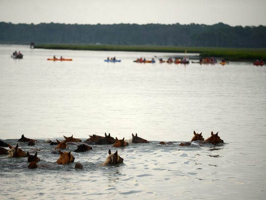 The southern herd of Chincoteague ponies make their