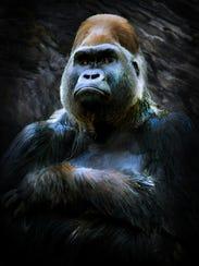 A painting of the Cincinnati Zoo's gorilla, Harambe,