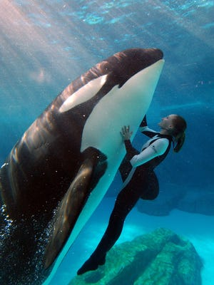 A SeaWorld killer whale trainer swims with an orca.