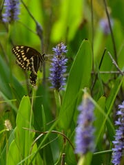 A palamedes swallowtail butterfly gets a meal from some pickerel weed at Corkscrew Swamp Sanctuary.