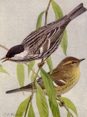 """Blackpoll warblers migrate through Tennessee every spring.  Listen in wooded areas for a long series of high, thin """"tseet, tseet, tseet"""" notes that begin softly and get louder."""