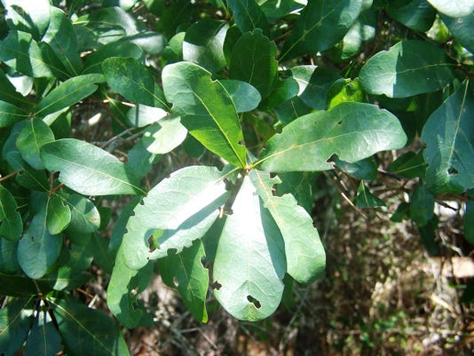 Laurel oak leaves