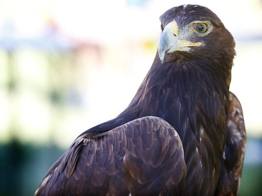 A golden eagle remains perched Saturday at River Fest. The Cornell Raptor Program brought a handful of birds of prey to the festival, including the golden eagle, and several owls and hawks.