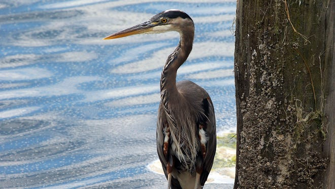 A great blue heron fishes on the breakwater at Liberty Bay Marina in Poulsbo on Wednesday. State health officials opened Liberty Bay up to commercial shellfish harvesting for the first time in decades last week.