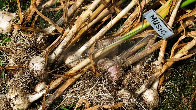 Music is the garlic variety that did best in my garden this season.