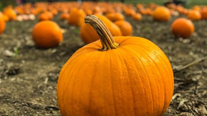 Pick your own pumpkin that's perfect for carving on the Pumpkin Patch Express train ride aboard the Stourbridge Line.