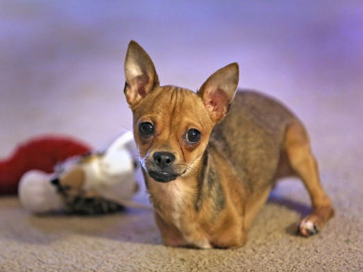 TurboRoo, an adorable Chihuahua that was born with