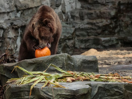 Thor, a 6-year-old grizzly bear, enjoys a stuffed pumpkin