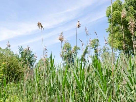 636359970270946938-invasive-plant-image003.jpg