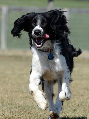 Blue, a springer spaniel owned by Patrick Wentz of Strinestown, plays at Canine Meadows Dog Park in East Manchester Township on National Puppy Day, Thursday, March 23, 2017.  John A. Pavoncello photo