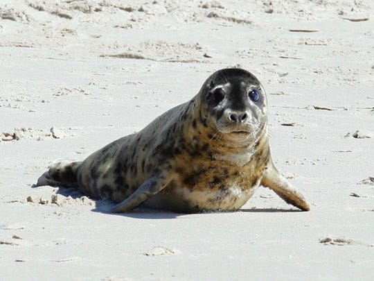 Lily, a gray seal, was rescued by MERR in 2015 on Bethany
