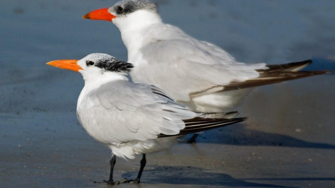 Royal, front, and Caspian terns. Note white forehead on royal, larger size and redder beak on Caspian.